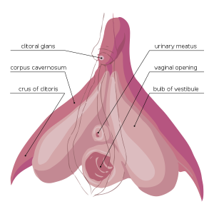 600px-Clitoris_Anatomy.svg